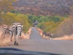 zebras on road.jpg